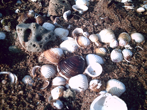 Tiny Shells, copyright Kim Nixon