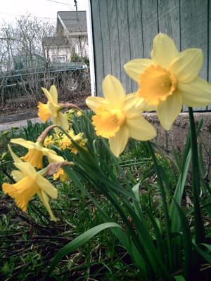Daffodils Front Yard, copyright Kim Nixon