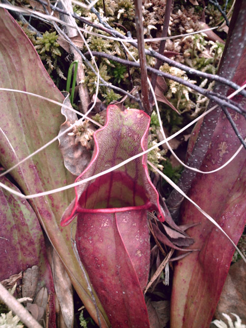 Pitcher Plant, photo copyright by Kim Nixon