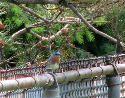 Blue Bird on Fence at Shiras Pool, photo by Kim Nixon