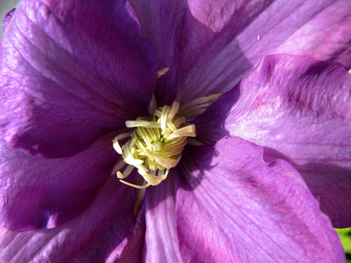 First Clematis, photo by Kim Nixon