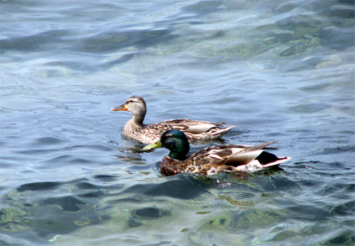Duck Couple on Lake Superior, photo by Kim Nixon