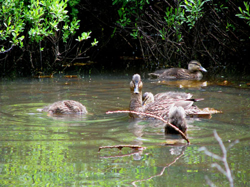 Duck Family Moosewood Nature Trail, photo by Kim Nixon