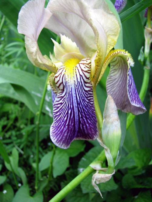 Simple Iris Near Pond, photo by Kim Nixon 6/08