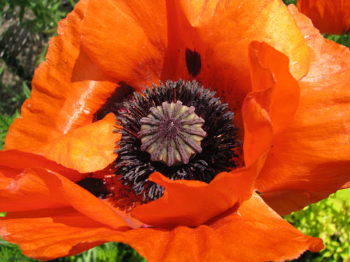 Poppy, photo by Kim Nixon