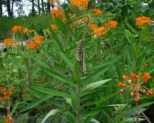 Monarch Catepillars, photo copyright Kim Nixon