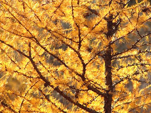 Fall Tammarack, photo by Kim Nixon