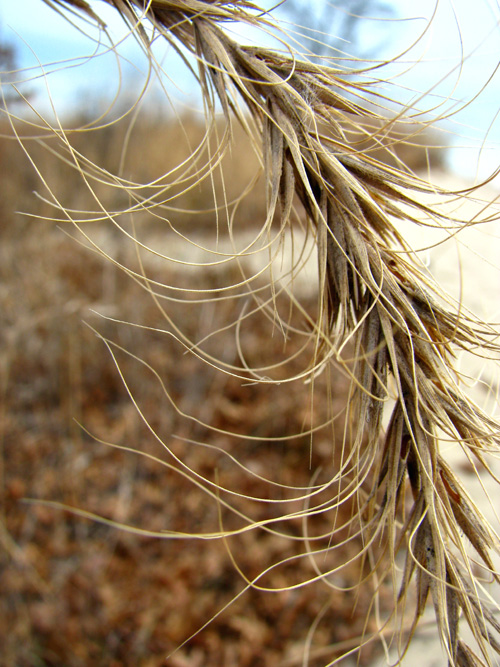 PhotoFriday.com, Extreme Close-up--Dune Grass, photo copyright Kim Nixon