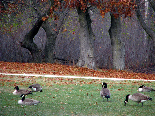 Grazong Geese, Illinois State Beach, photo copyright Kim Nixon