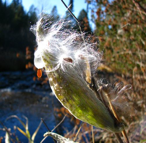 Milkweed Pod, Whitefish River 2008, photo copyright Kim Nixon