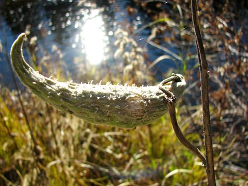 Milkweed Smiles, Whitefish River 2008, photo copyright Kim Nixon