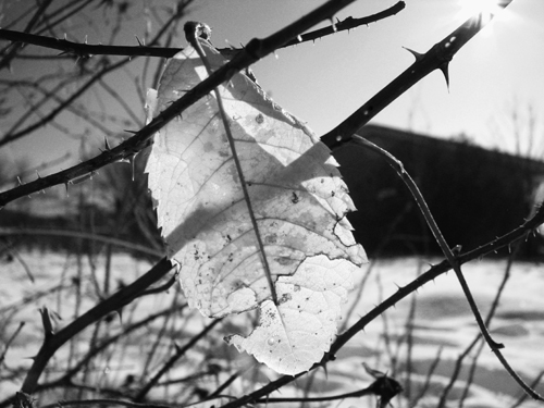 Gold Leaf in BW, copyright Kim Nixon