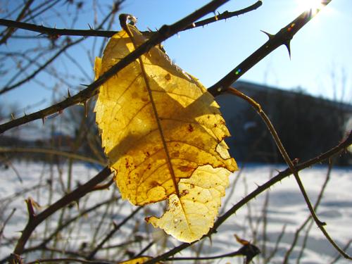 Gold Leaf Yellowed, copyright Kim Nixon